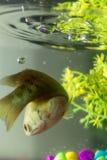 Pescados en el acuario que toma la respiración en la acción Foto de archivo libre de regalías