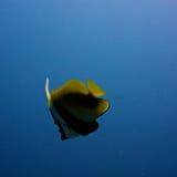 Pescados en el agua Imagenes de archivo