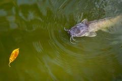Pescados en el agua verde Siluro y una hoja amarilla Imágenes de archivo libres de regalías