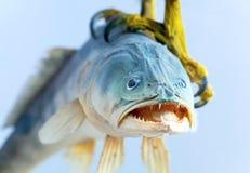Pescados en el ave rapaz de la garra Fotos de archivo libres de regalías