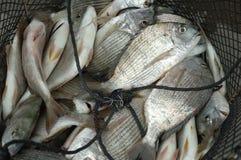 Pescados en el fishnet Fotografía de archivo libre de regalías