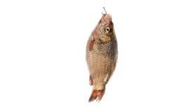 Pescados en el gancho de leva Imagen de archivo libre de regalías
