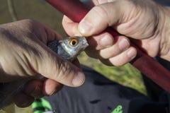 pescados en el gancho de leva Foto de archivo libre de regalías