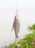pescados en el gancho de leva Imágenes de archivo libres de regalías