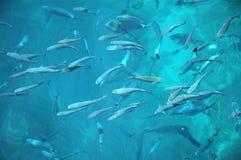 Pescados en el mar adriático Fotografía de archivo libre de regalías