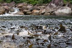 Pescados en la cascada Fotografía de archivo