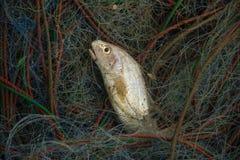 Pescados en la red imagen de archivo