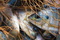 Pescados en red de pesca Animal Foto de archivo libre de regalías