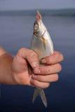 Pescados en un gancho de leva Fotos de archivo