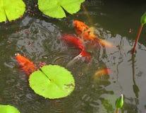 Pescados en una alimentación de la charca Imágenes de archivo libres de regalías