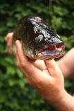 Pescados en una mano del pescador Imagen de archivo libre de regalías