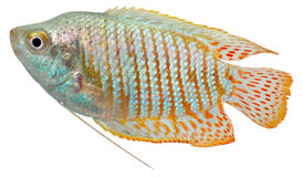 Pescados enanos del Osphromemus gorami Foto de archivo