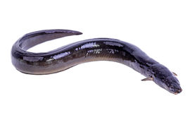 Pescados europeos de la anguila Imagenes de archivo