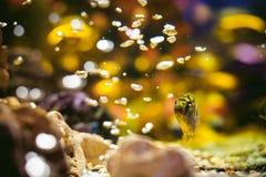 Pescados exóticos del cichlid del acuario multitud de la natación amarillo-naranja de los pescados del mar en acuario Imágenes de archivo libres de regalías