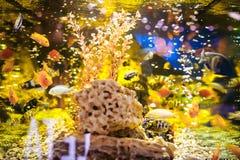 Pescados exóticos del cichlid del acuario multitud de la natación amarillo-naranja de los pescados del mar en acuario Foto de archivo libre de regalías