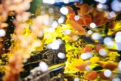 Pescados exóticos del cichlid del acuario multitud de la natación amarillo-naranja de los pescados del mar en acuario Imagenes de archivo