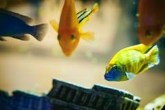 Pescados exóticos del cichlid del acuario multitud de la natación amarillo-naranja de los pescados del mar en acuario Imagen de archivo