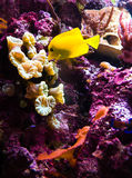 Pescados exóticos en el filón coralino fotos de archivo