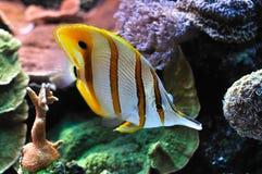 Pescados exóticos en el filón coralino Foto de archivo libre de regalías