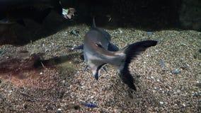 Pescados exóticos en un primer grande del acuario almacen de video