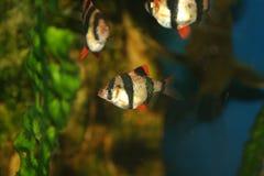 Pescados exóticos, tetrazona de Barbus Foto de archivo libre de regalías