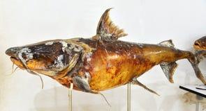 Pescados fósiles Foto de archivo libre de regalías