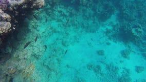 Pescados flotantes en agua clara Mar Rojo metrajes