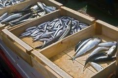 Pescados frescos Fotos de archivo libres de regalías
