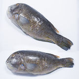 Pescados frescos del loro Fotografía de archivo