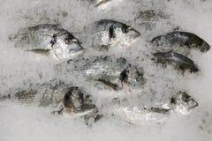 pescados frescos del sparus en la opini?n de top del hielo muchos pescados en el hielo que vende concepto fotos de archivo libres de regalías