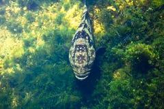 Pescados gigantes del mero Foto de archivo libre de regalías