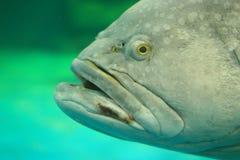 Pescados gigantes del mero en un acuario Fotos de archivo