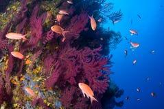 Pescados gorgonians y de los anthias mediterráneos de Anthias Islas de Medes Costa Brava imagen de archivo libre de regalías