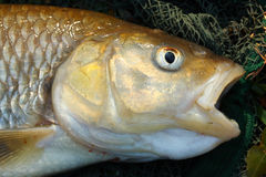 Pescados grandes. Fotografía de archivo libre de regalías