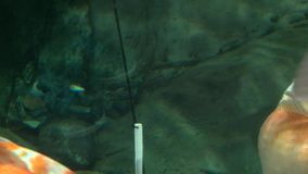 Pescados grandes del oro en el acuario, cierre encima del tiro metrajes
