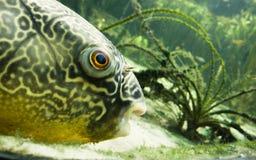 Pescados grandes en acuario Imagen de archivo