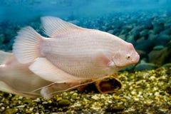 Pescados grandes en el fishingl del Osphromemus gorami del acuario Fotos de archivo