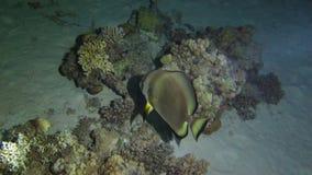 Pescados grandes en la noche en el Mar Rojo almacen de metraje de vídeo