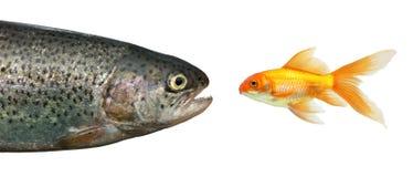 Pescados grandes, pequeños pescados Imagen de archivo libre de regalías