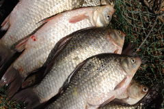 Pescados gruesos Fotografía de archivo