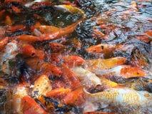 Pescados hambrientos Imagen de archivo libre de regalías