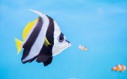 Pescados hermosos de la mariposa en fondo azul Fotografía de archivo libre de regalías
