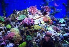 Pescados hermosos de la mariposa y Coral Reefs magnífica imagenes de archivo