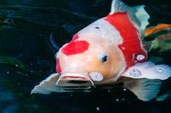 Pescados hermosos del koi Imágenes de archivo libres de regalías