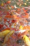 Pescados hermosos del koi en los estanques de peces Imagen de archivo libre de regalías