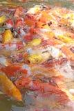Pescados hermosos del koi en los estanques de peces Foto de archivo