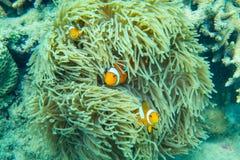 Pescados hermosos del payaso en la anémona de mar imagenes de archivo