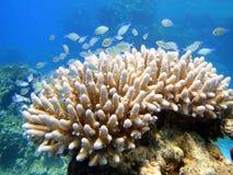 Pescados hermosos en coral Imágenes de archivo libres de regalías