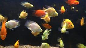 Pescados hermosos en el acuario, mirando del lado almacen de metraje de vídeo