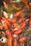 Pescados japoneses coloridos en una charca, carpas de la carpa de Koi Fotografía de archivo